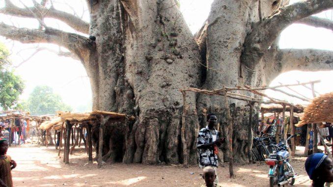 I cambiamenti climatici colpiscono anche gli alberi Africani