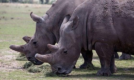 """Embrioni in provetta: """"Vogliamo salvare quei rinoceronti condannati all'estinzione"""""""