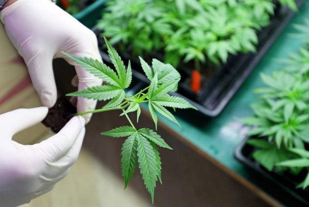 Coltivazioni di marijuana indoor, per uso terapeutico.|Shutterstock