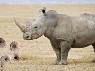 Rinoceronti bianchi salvati dall'estinzione con la fecondazione in vitro