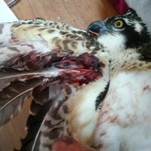 Il falco pescatore ferito in Sicilia