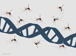 Zanzare OGM per combattere la malaria