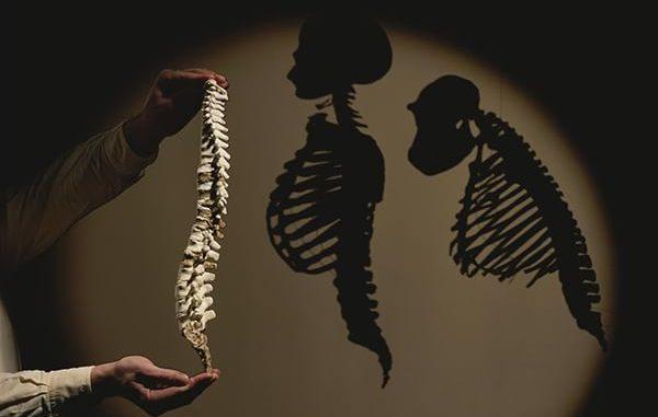 Il modello della colonna vertebrale di un Australopithecus afarensis (Lucy) mostrato accanto alle silhouette degli scheletri di un essere umano e di uno scimpanzé moderni. Fotografia di Kenneth Garrett, National Geographic Creative