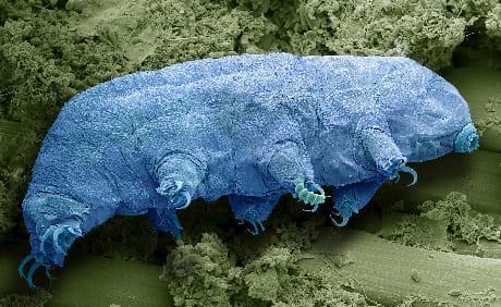 Pur essendo grande in media un millimetro, un tardigrado ha comunque dimensioni centinaia di volte maggiori dei batteri fotosintetici (SPL/AGF)
