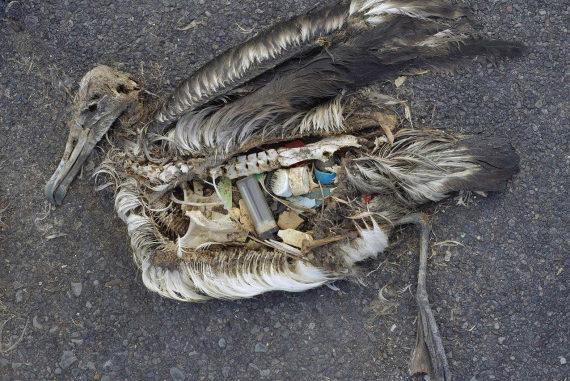 Non è un disegno: è un giovane albatros, morto per avere mangiato la nostra spazzatura in mare. | Chris Jordan/US Fish And Wildlife Service