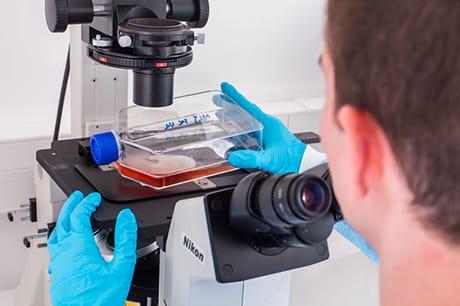 Studio al microscopio di colture di cellule staminali. (Phanie / AGF)