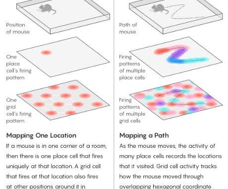 """Neuroni specializzati situati nell'ippocampo e nelle aree limitrofe rendono possibile la navigazione nello spazio. Le cellule di posizione codificano specifiche posizioni locali, mentre le cellule griglia forniscono un sistema di coordinate a più largo raggio in assenza di indizi esterni. I ricercatori ritengono che il cervello usi un analogo sistema per navigare in """"spazi"""" mentali di conoscenza e memoria. (Cortesia Lucy Reading-Ikkanda/Quanta Magazine )"""