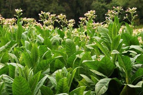 La pianta del tabacco è uno dei modelli più diffusi usati in biologia vegetale (© Biosphoto / AGF)
