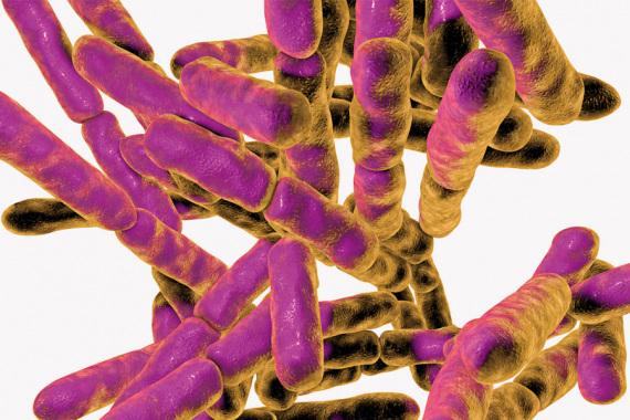 Bifidobacterium. I membri di questo genere sono considerati parte di un microbiota sano. Alcuni sono usati come probiotici, organismi da assumere per avere effetti benefici.