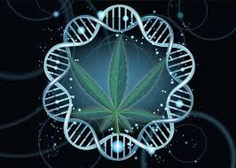 L'uso della cannabis altera l'epigenetica dello sperma