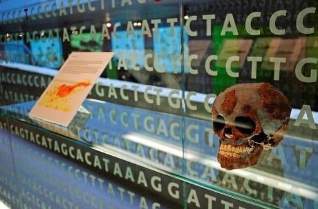 Neanderthal skull Neanderthal Museum Mettmann North Rhine-Westphalia Germany Neandertal