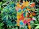 Ricerche universitarie su rischio psicosi causato da uso cannabis