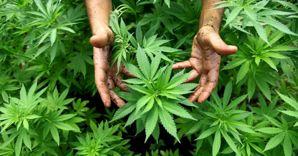 coltivazione di marjuana