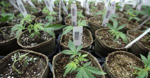 piante di cannabis