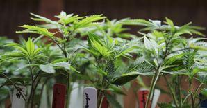 marjuana in laboratorio