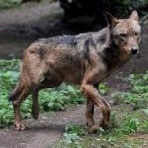 Trento, Bolzano e Valle d'Aosta stanno iniziando una strage di lupi