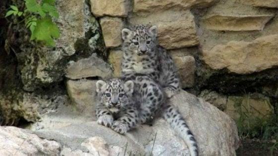 Due piccoli leopardi delle nevi