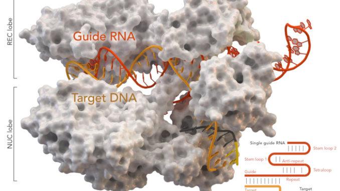 Nuova tecnica CRISPR-Cas9 per evitare errori nell'RNA