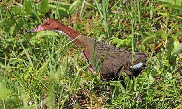 rallo di Couvier di Aldabra (Dryolimnas cuvieri aldabranus)