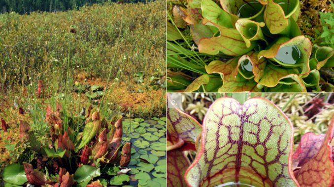 Scoperta pianta in grado di mangiare e digerire intere salamandre