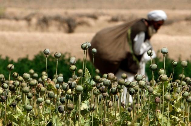 Un campo di papaveri da oppio in Afghanistan.|Goran Tomasevic/Reuters