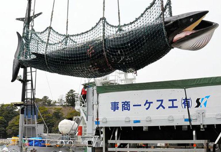 Il Giappone ha riaperto la caccia commerciale alle balene