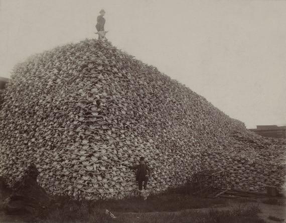 Fotografia (1870 circa): una montagna di teschi di bisonte, da usare come fertilizzante. | WikiMedia