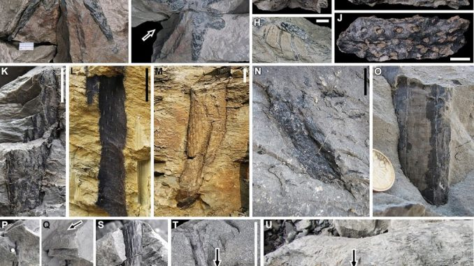 "Fossili degli alberi del genere <em>Guangdedendron</em> ritrovati in Cina (credito: DOI: <a href=""https://www.cell.com/current-biology/fulltext/S0960-9822(19)30780-8"" rel=""nofollow"" data-aalisten=""1"">10.1016/j.cub.2019.06.053</a>)"