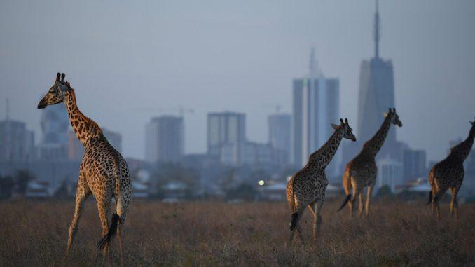 Giraffe masai, Giraffa tippelskirchi, vicino a Nairobi, in Kenya, il 13 marzo 2019 (Stuart Franklin/Getty Images)