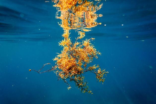 Alghe: il sargasso. Il termine macroalghe non è una definizione scientifica: indica grandi piante fotosintetiche acquatiche che possono essere viste senza l'aiuto di un microscopio. Allo stesso modo, microalghe indica enormi agglomerati di microscopiche piante.|Oliver S / Shutterstock