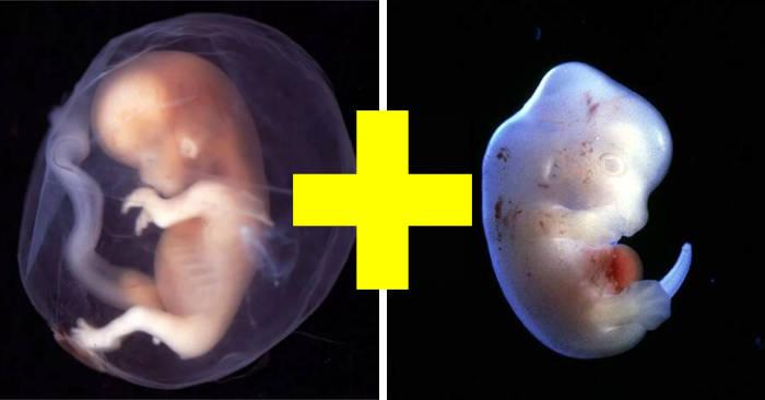 Creati ibridi uomo-animale per l'espianto organi