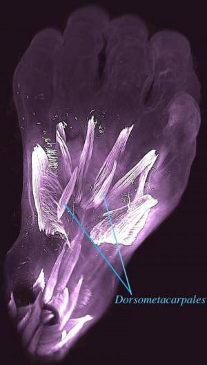 Il dorso della mano sinistra di un embrione di 10 settimane: sono evidenziati i muscoli dorsometacarpali, presenti negli adulti di diversi animali dotati di zampe. Nell'uomo, questi muscoli scompaiono o si fondono con altri prima della nascita. | Rui Diogo, Natalia Siomava and Yorick Gitton
