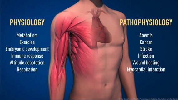 Le condizioni fisiologiche o patologiche in cui è cruciale la rilevazione cellulare dell'ossigeno. | Mattias Karlén