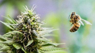 In tutto il mondo gli impollinatori sono in declino. Ma negli Usa, afferma una ricerca, le piantagioni di cannabis fanno prosperare i preziosi insetti