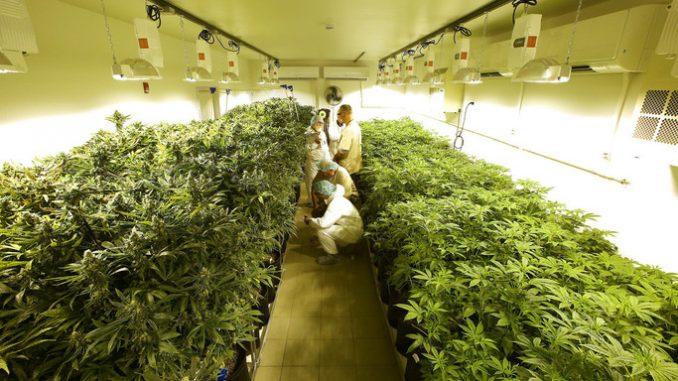 Coltivazione di cannabis legale