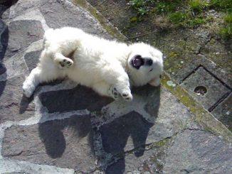 Botti di capodanno uccidono d'infarto la cucciola Diana