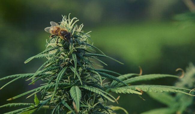 Le coltivazioni di cannabis sativa piacciono alle api