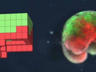 Robot viventi creati con cellule staminali di rana