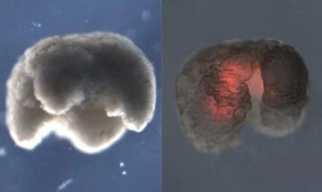 Due esempi di xenobot. Credit: Università del Vermont