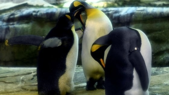 La comunicazione tramite suoni dei pinguini innamorati