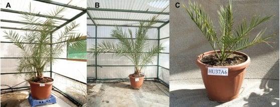 Resuscitate piante da dattero di 2000 anni fa