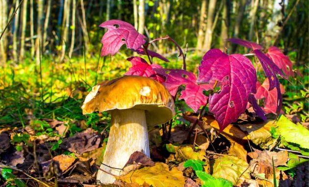 Un quarto delle specie di funghi americane rischia di scomparire.   Dmitry Demkin / Shutterstock