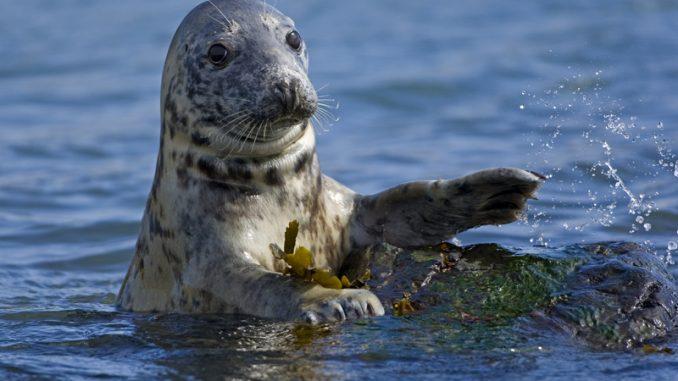 Video di due foche grige selvatiche in fase di accoppiamento