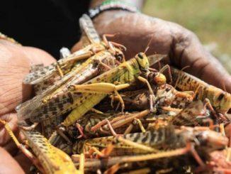Miliardi di locuste stanno affamando l'Africa sub-sahariana