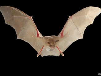 Allo studio nuove specie di pipistrelli simili a quelli del coronavirus