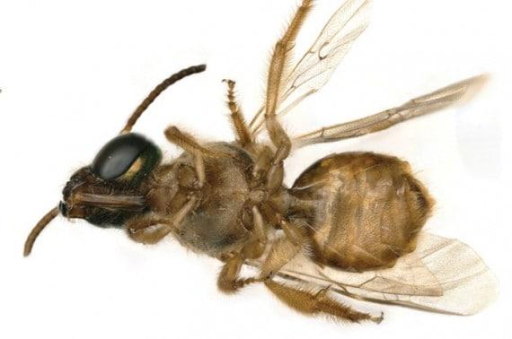 L'ape con metà del corpo maschile (il lato sinistro del corpo) e l'altra metà femminile. | Krichilsky et al., J. Hymenopt. Res., 2020