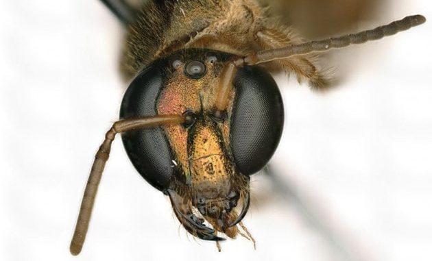L'esemplare di ape notturna Megalopta amoenae metà femmina (il lato alla nostra sinistra, nella foto) e metà maschio (l'altra metà). | Krichilsky et al., J. Hymenopt. Res., 2020