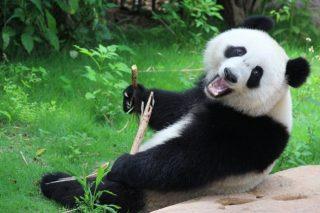 Un panda in uno zoo cinese | Foreverhappy / Shutterstock