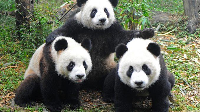 E' incinta il Panda Ying Ying dello zoo di Ocean Park
