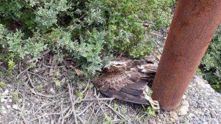 Un'altra aquila di Bonelli uccisa dai cavi elettrici